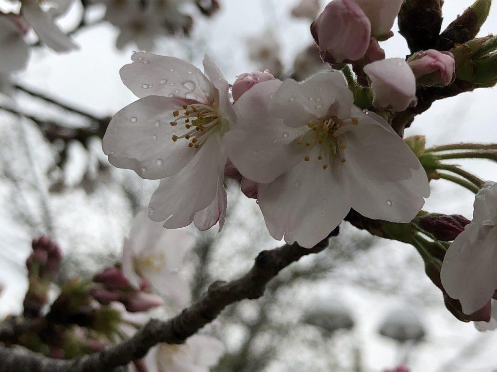 桜開花 お花見ドライブ